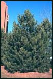 Evergreen Trees - Austrian Pine