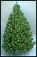 Evergreen Trees - Canann Fir - Balsam Fir