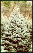 Evergreen Trees - Colorado Blue Spruce