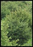 Evergreen Trees - Fraser Fir