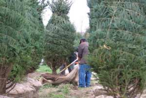 Evergreen trees, blue spruce trees and more at Barnes Evergreens in upstate NY.