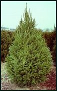 Evergreen Trees - Norway Spruce