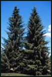 Evergreen Trees - Serbian Spruce