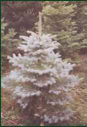 Very narrow evergreen trees, Colorado Blue Spruce trees and more!