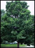 Sugar Maple Evergreen Trees