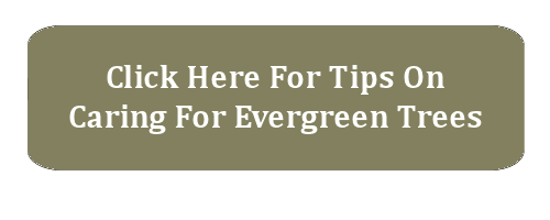tips on caring for evergreen trees