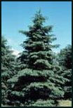 White Spruce Evergreen Tree