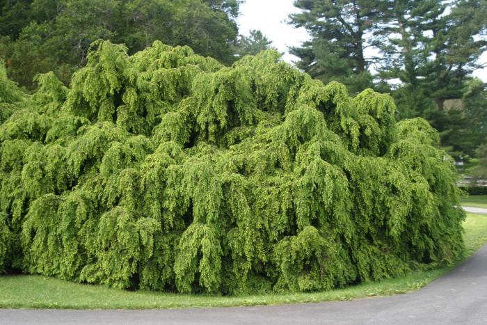 Canadian Hemlock Trees Buy Evergreen Trees