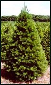 Types Of Evergreen Trees | Evergreen Trees and Bushes For Sale